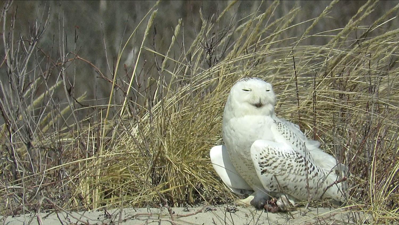 Snowy Owl 1500 3-18-2018 162B.jpg