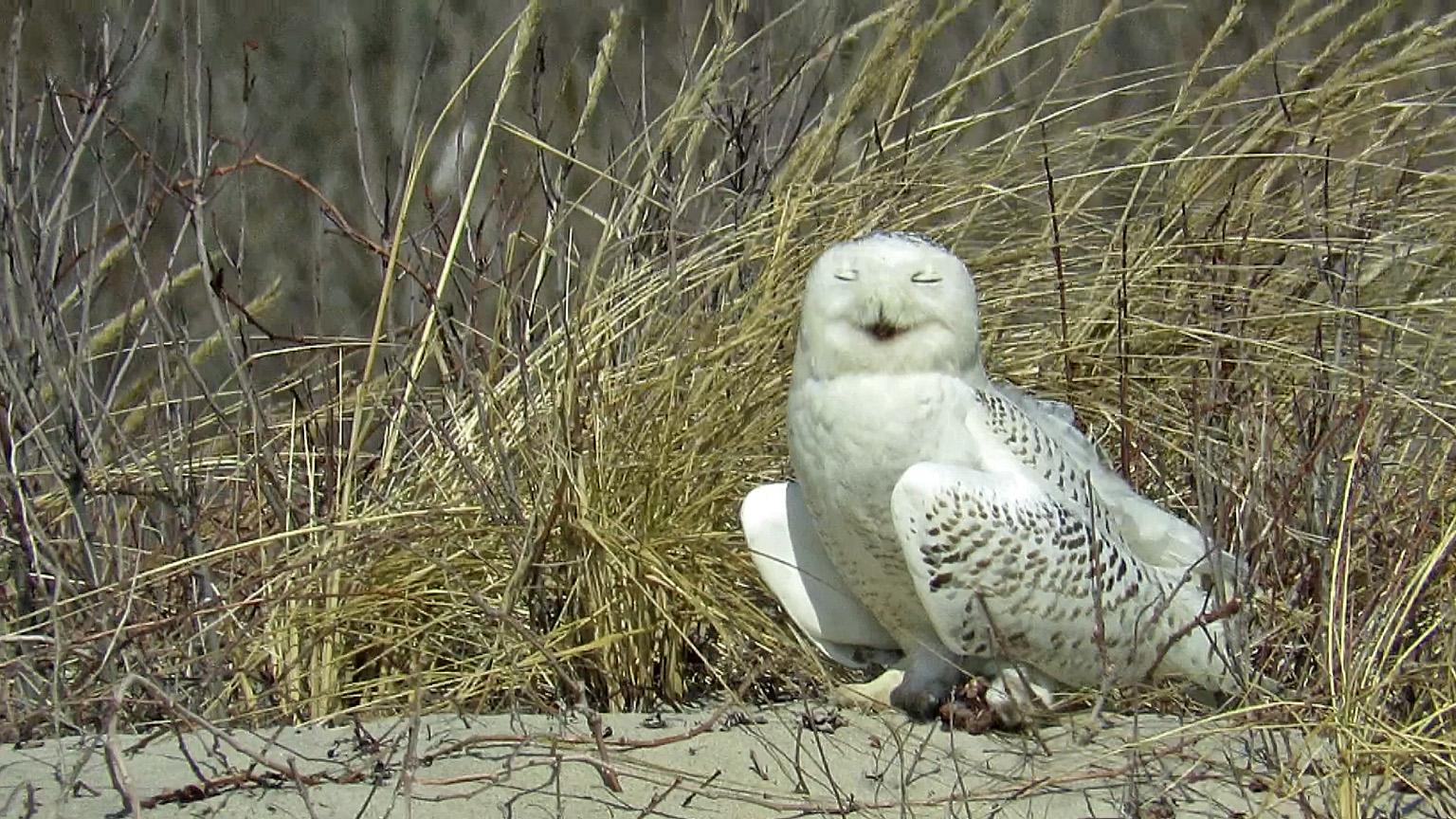 Snowy Owl 3-18-2018 162A.jpg