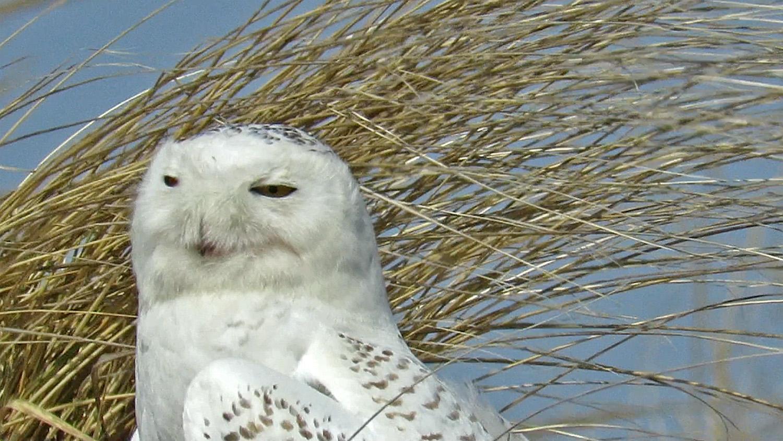 Snowy Owl 1500 3-15-2018 60BP.jpg