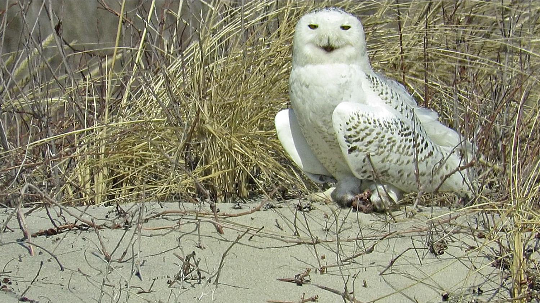Snowy Owl 1500 3-15-2018 166A.jpg