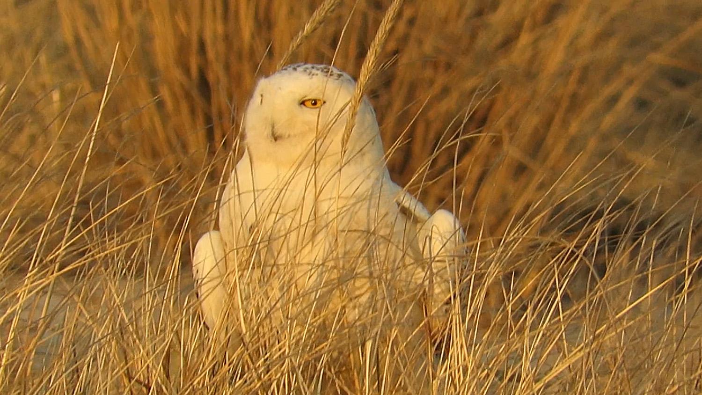 Snowy Owl 1500 3-15-2018 469A.jpg