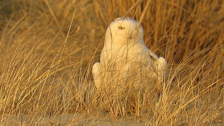 Snowy Owl 1500 3-15-2018 466A.jpg