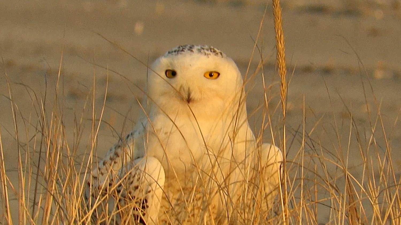 Snowy Owl 1500 3-15-2018 501A.jpg