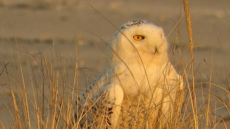 Snowy Owl 1500 3-15-2018 504A.jpg