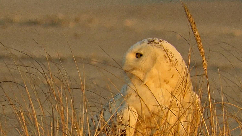 Snowy Owl 1500 3-18-2018 504B.jpg