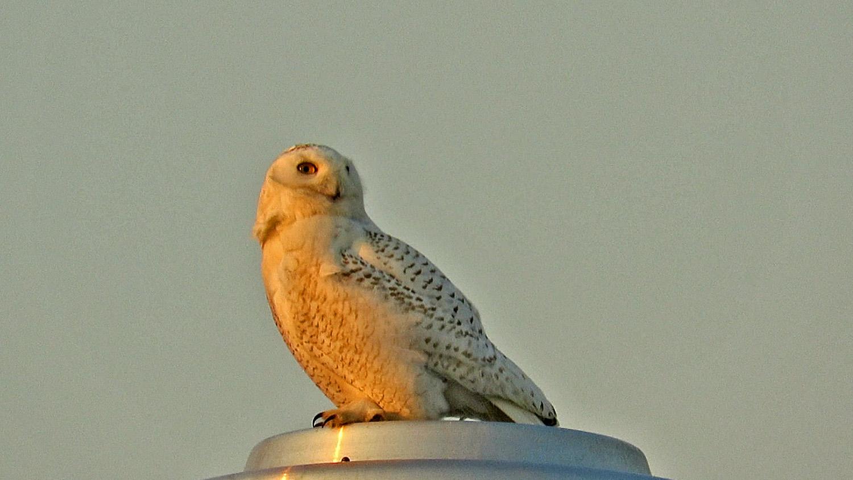 Snowy Owl 1500 3-15-2018 523B.jpg