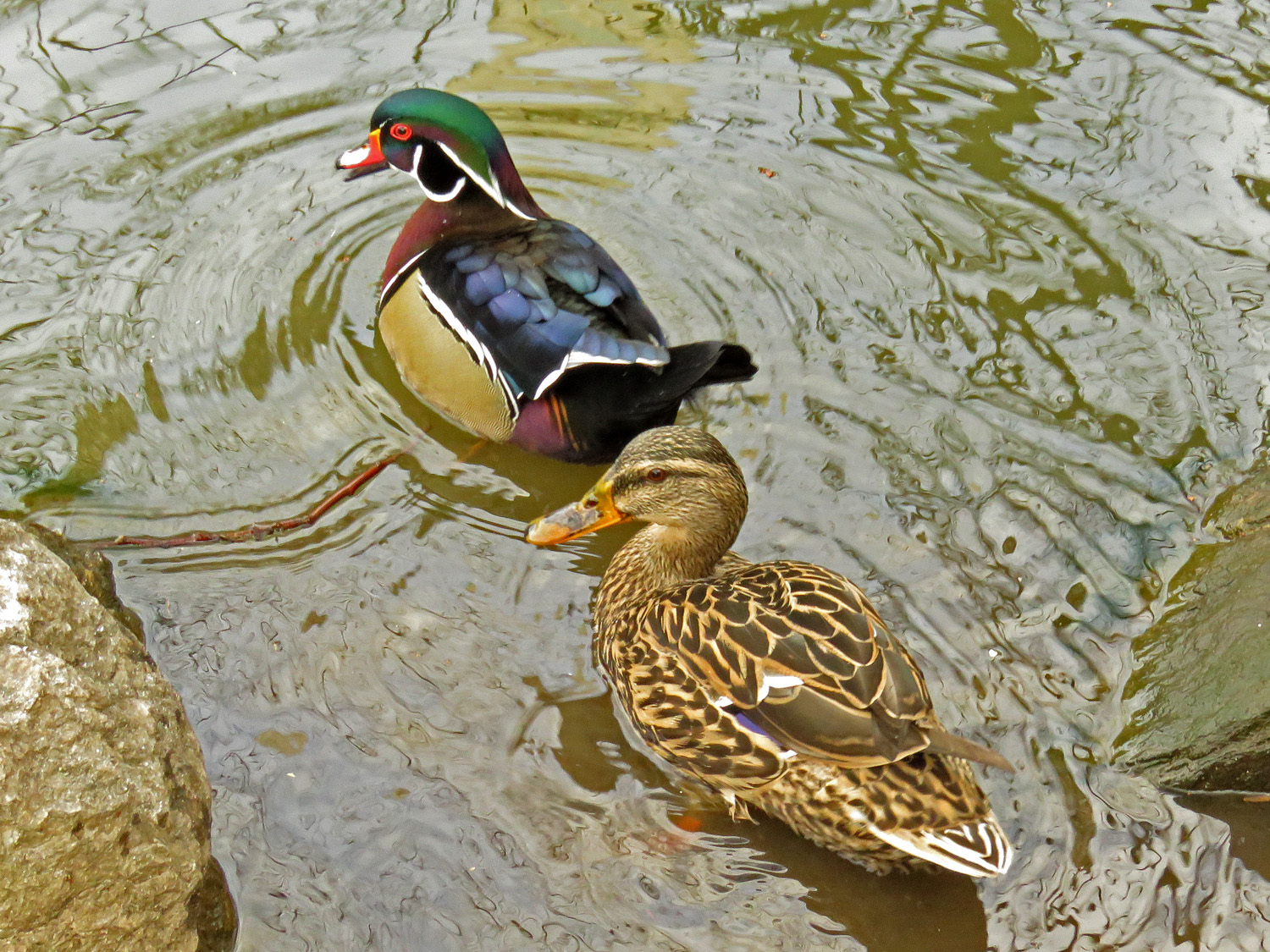 Woody and the female mallard he swims around with, April 4, the Pond
