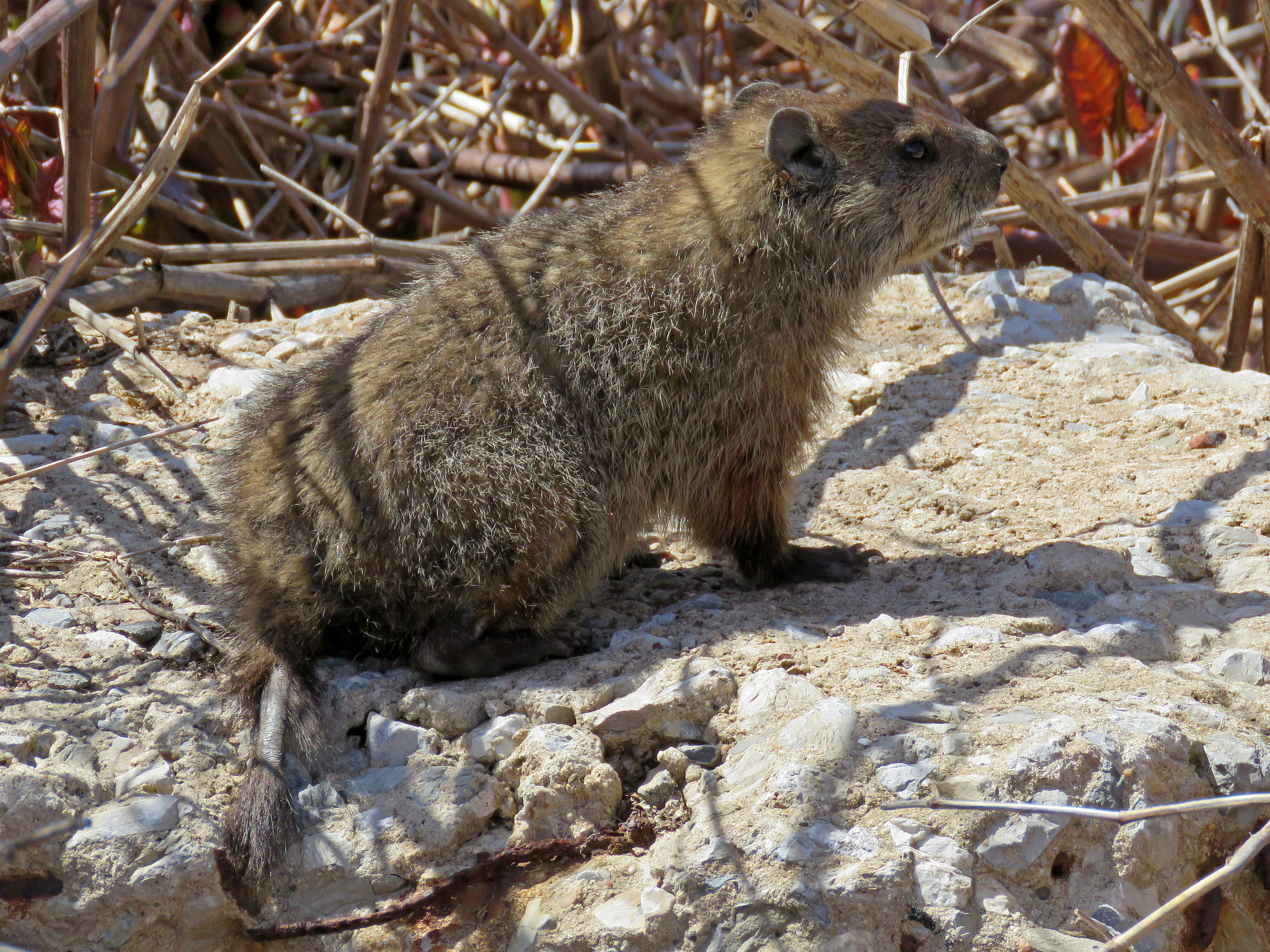 Groundhog posing near Oakwood Beach, Staten Island, April 21, 2018