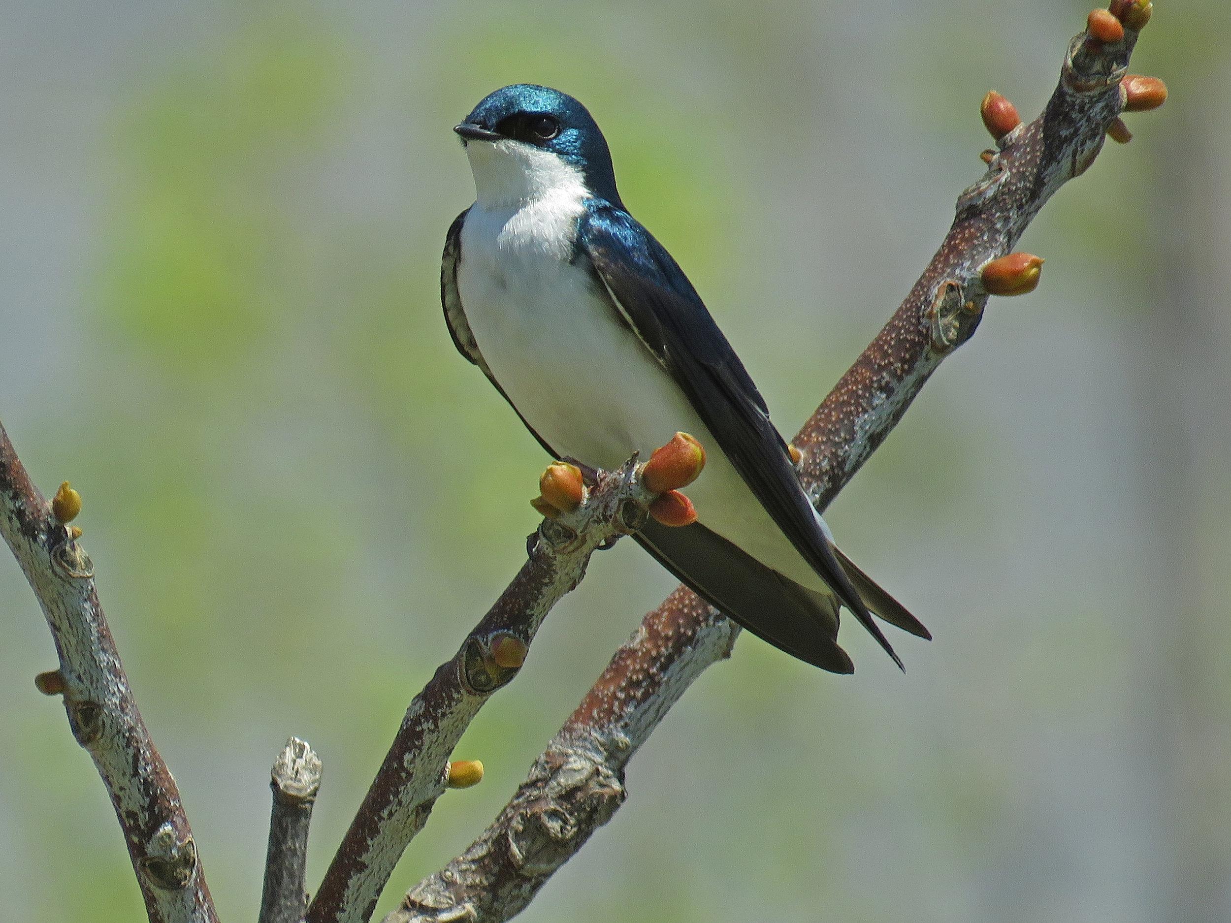 Tree swallow, Governors Island, May 1, 2018