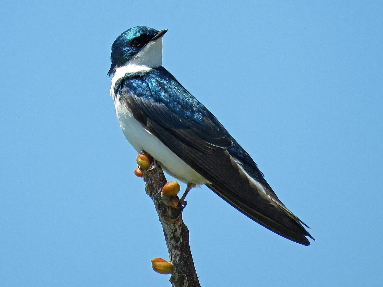 Tree Swallow 1500 5-1-2018 GI 152P.jpg