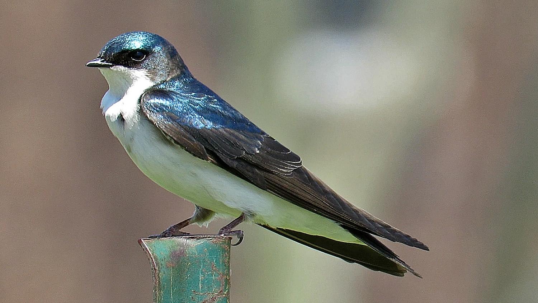 Tree Swallow 1500 5-1-2018 166P.jpg