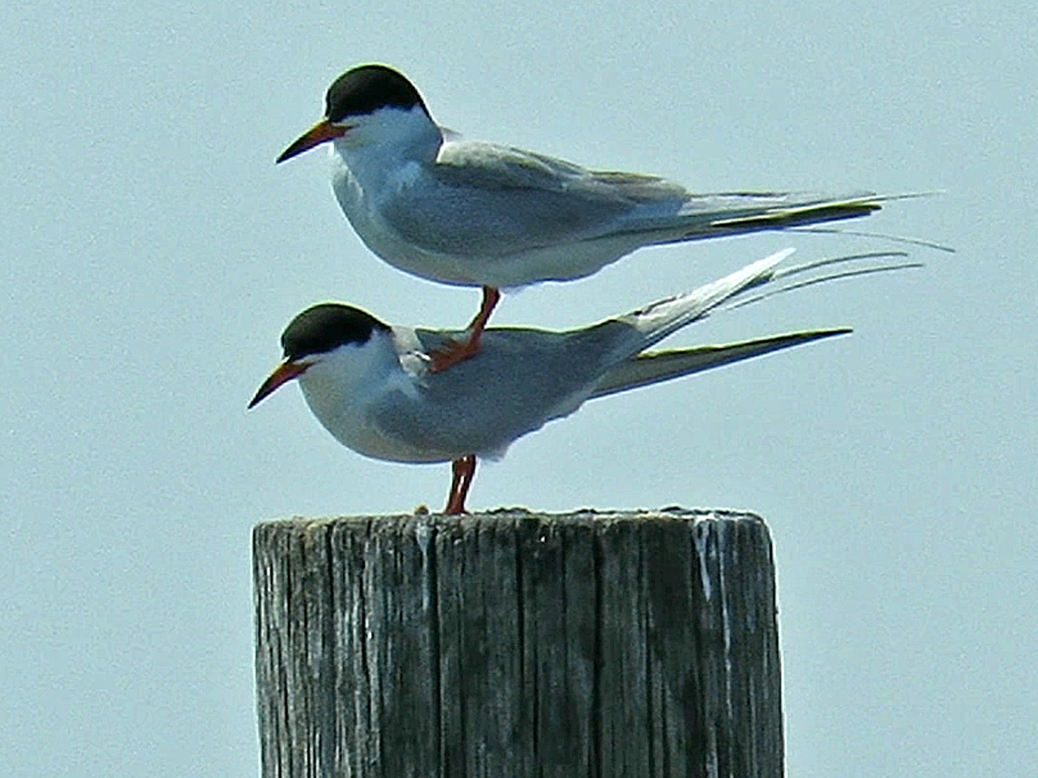 Forster's tern mating fail, May 3, 2018, Broad Channel American Park