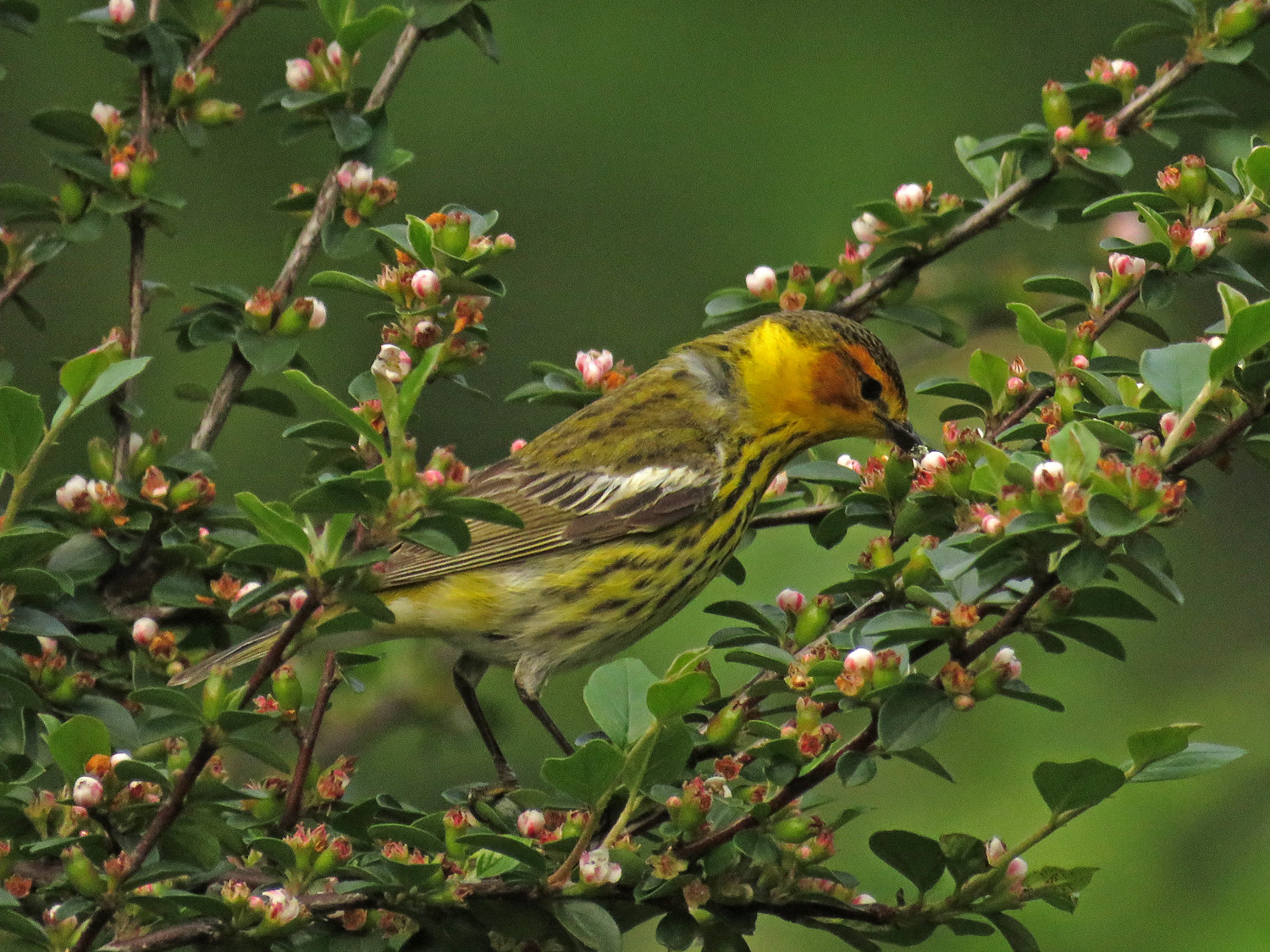 Male Cape May warbler, Central Park, May 20, 2018