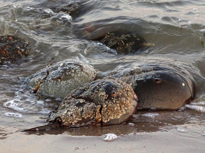 Breeding horseshoe crabs on Plumb Beach, Brooklyn, May 29, 2018