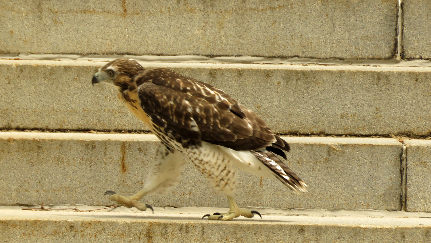 The first Grant's Tomb fledgling on the steps of the monument, June 11, 2018.