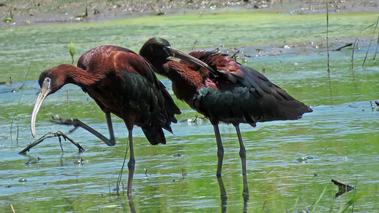 Glossy ibises, Mount Loretto Unique Area, June 19, 2018