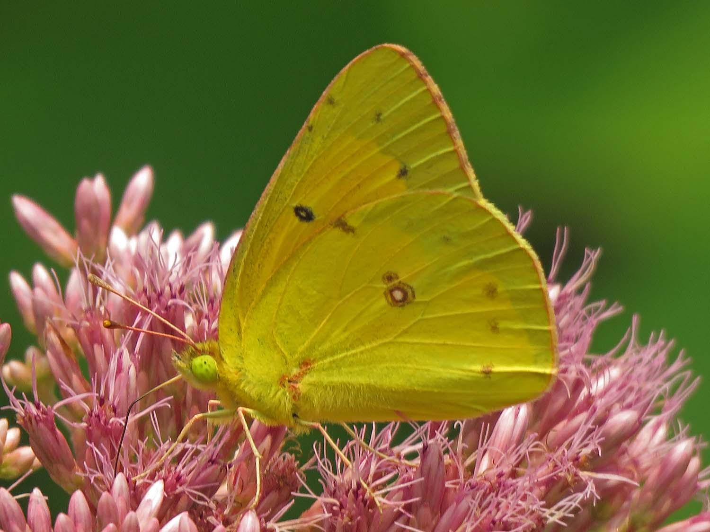 Sulphur butterfly, Snug Harbor, August 10, 2018