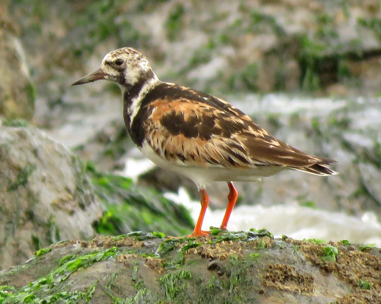 September 13, 2018, a ruddy turnstone hangs out on a jetty at Midland Beach on Staten Island.