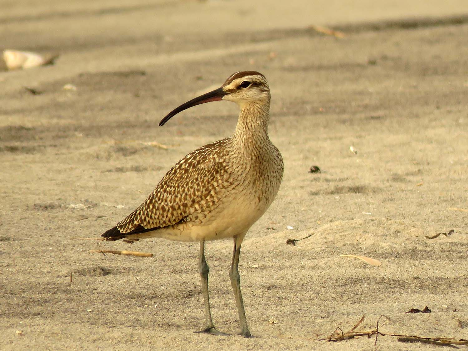 Whimbrel at Breezy Point, Queens, September 19, 2018