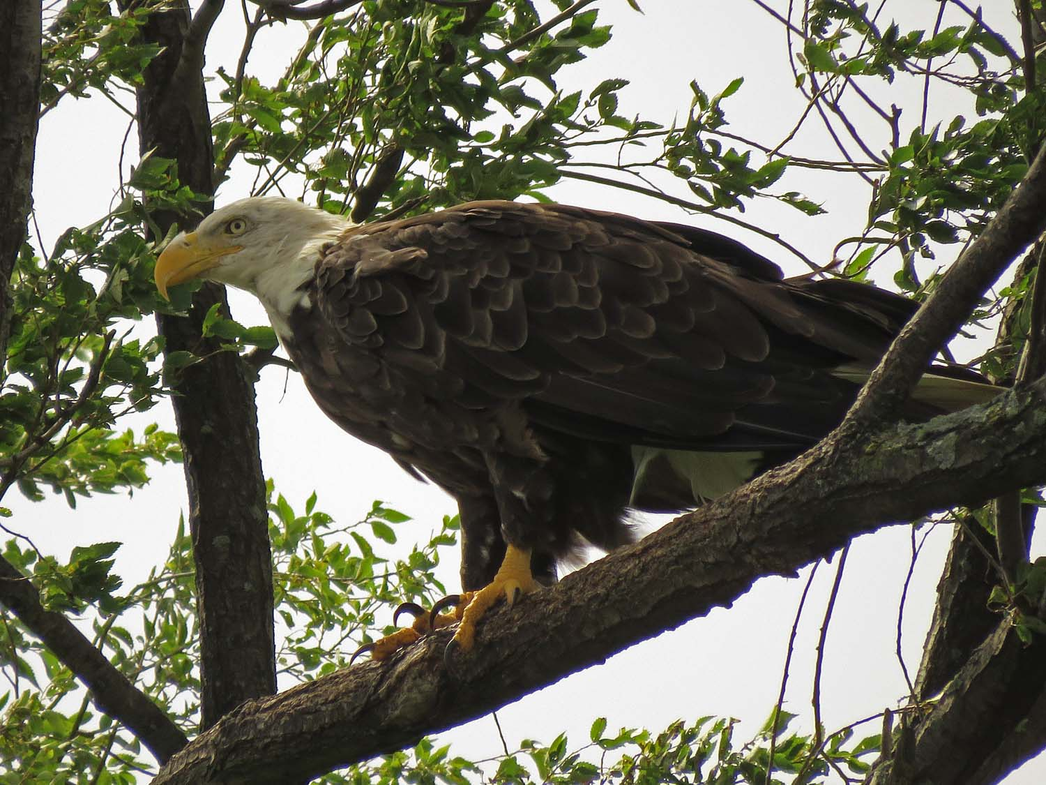 An adult bald eagle, probably the mother, Mount Loretto Unique Area, Staten Island, August 2, 2018. This photo is dedicated to Dr. Coco Lazaroff.