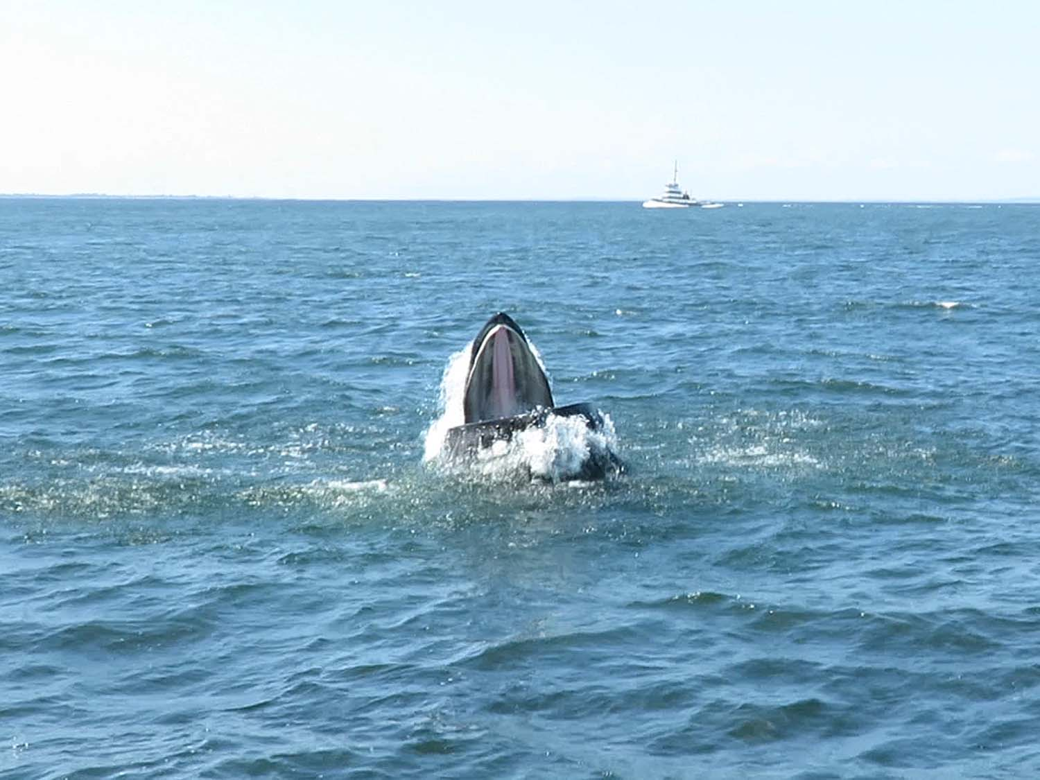 Humpback whale, seen from the American Princess, August 23, 2018