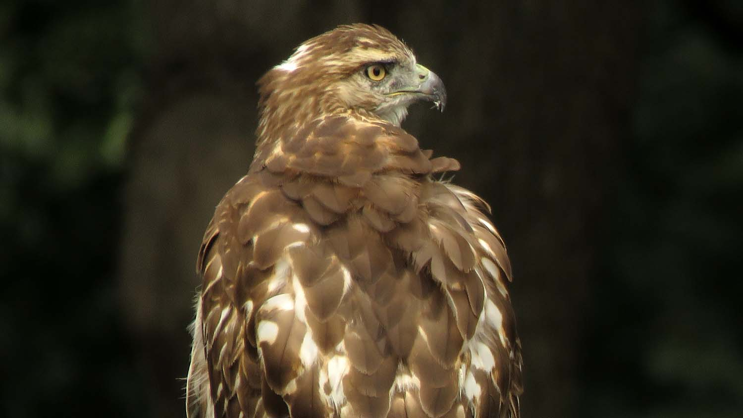 A first-year red-tailed hawk visits the playground at 100th Street in Central Park, September 22, 2018.
