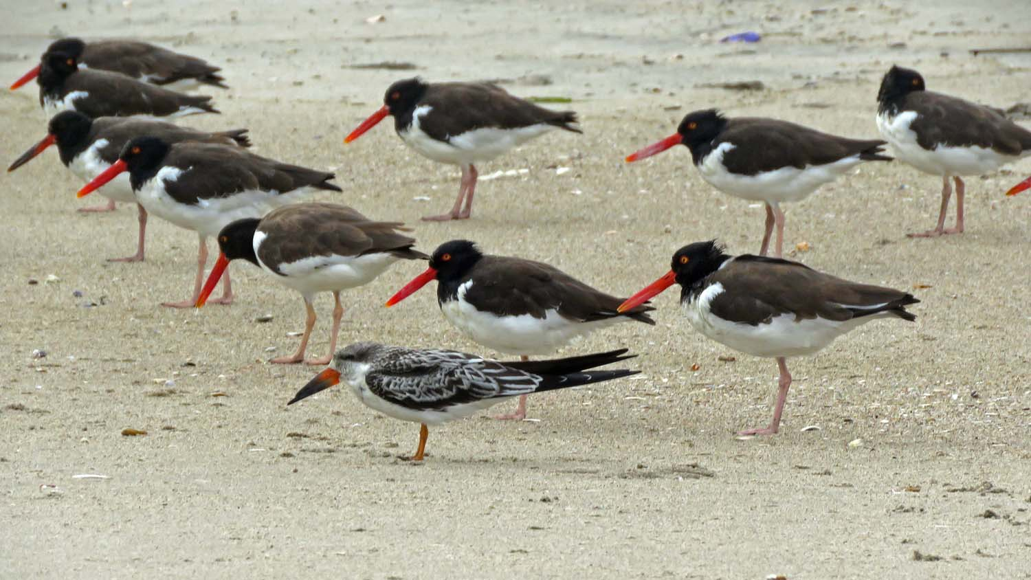 A young black skimmer hangs out with more than a 100 American oystercatchers on the beach at Breezy Point, October 2, 2018