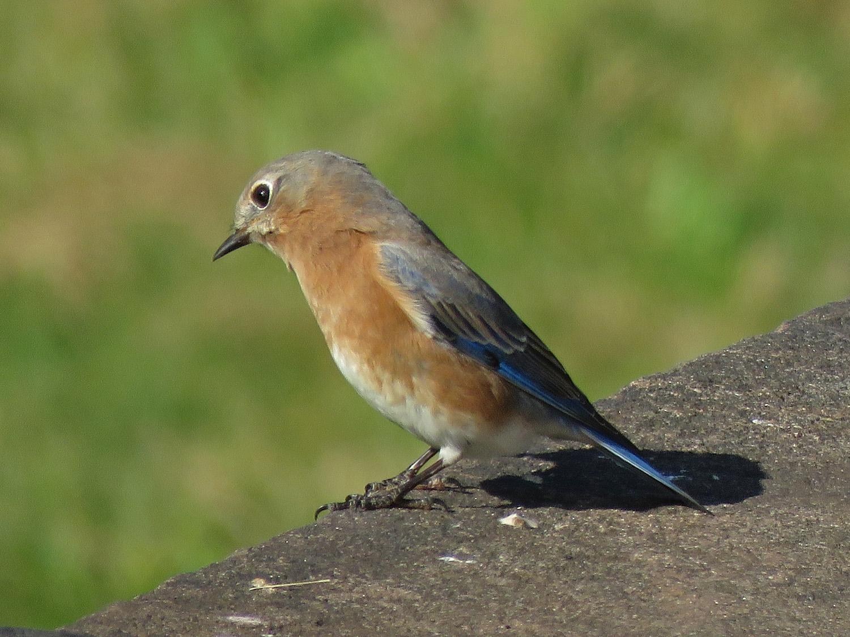 Eastern bluebird, Governors Island, October 31, 2018