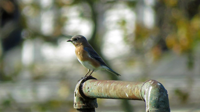 Bluebird 1500 10-31-2018 GI 207P.jpg