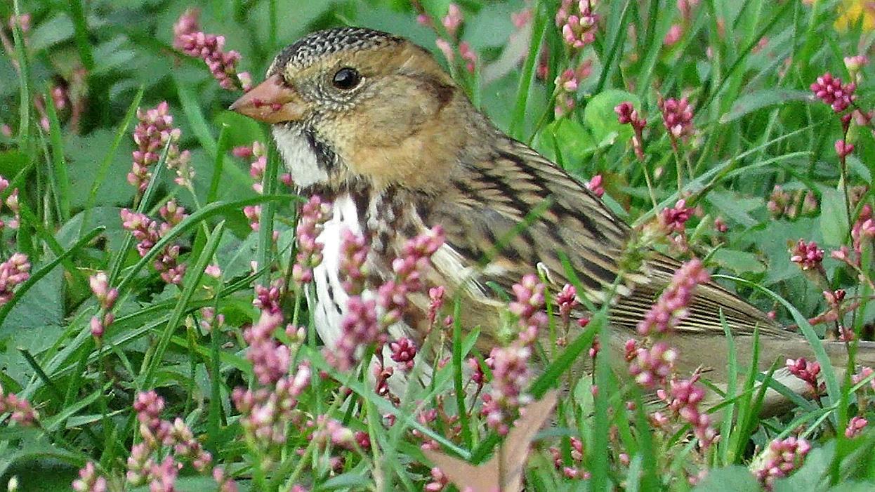 Harrissparrow 2.jpg