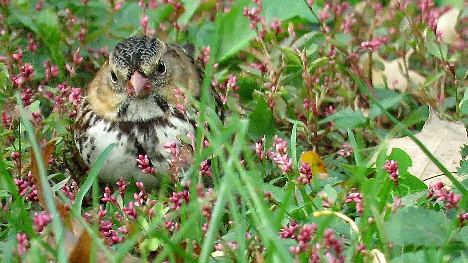 Harrissparrow 3.jpg