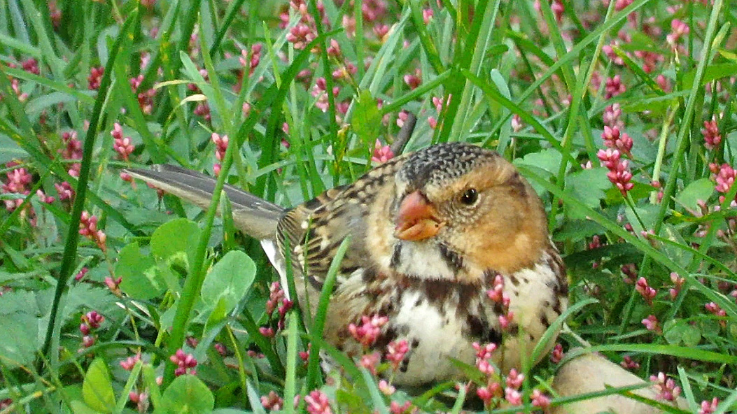 Harrissparrow 5.jpg