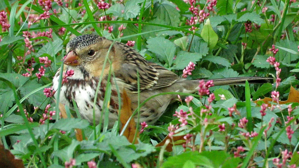 Harrissparrow 6.jpg