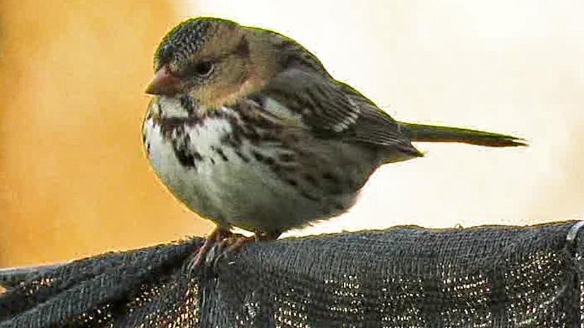Harrissparrow 8.jpg