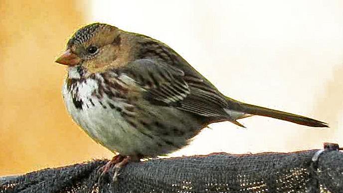 Harrissparrow 9.jpg