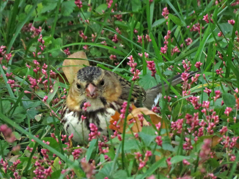 Harris's sparrow, Central Park, November 4, 2018