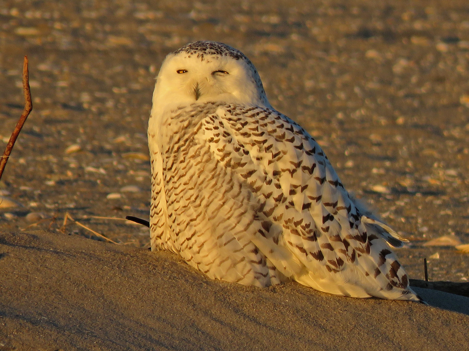 I spent two beautiful hours sitting far away from this snowy owl on a beach in Queens on December 4, 2018. I saw only one other person, and we both took joy that this bird chose to spend time in New York! Thank goodness for a nice zoom lens.