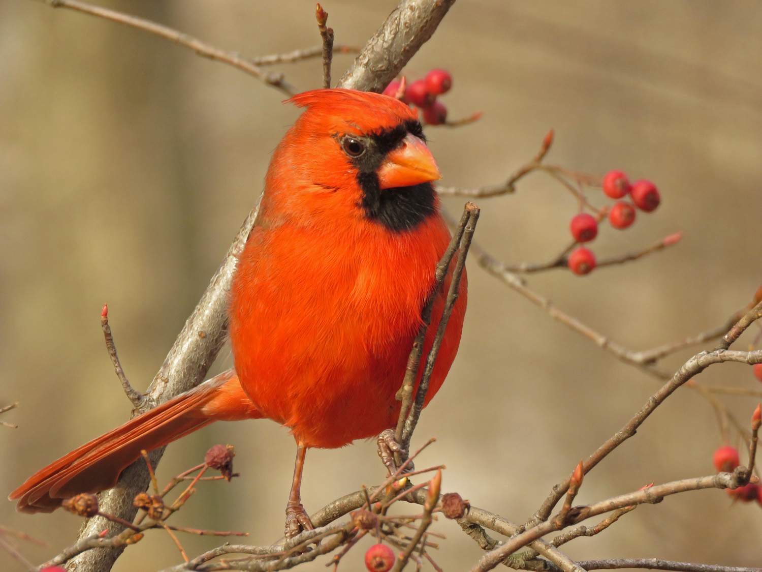 Northern cardinal, Central Park, December 24, 2018