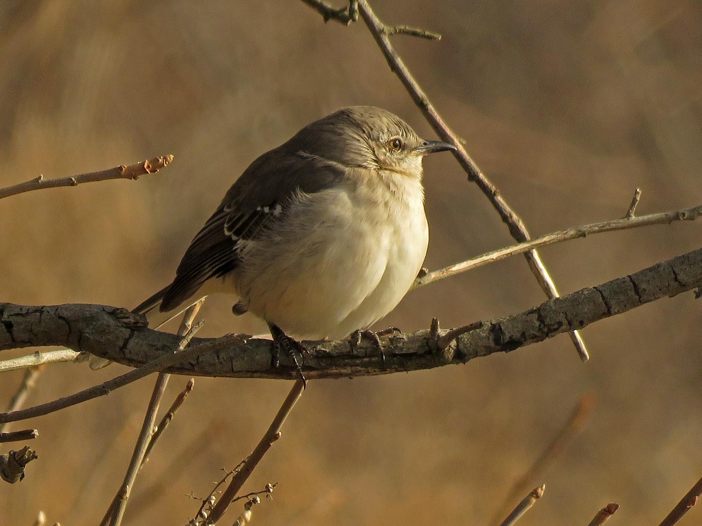 Northern mockingbird, Fort Tilden, Queens, January 12, 2019