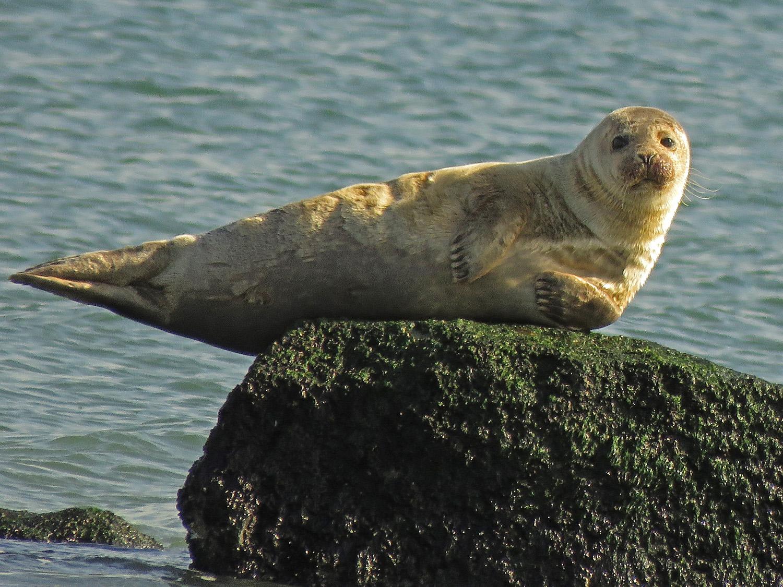 Harbor seal, Fort Tilden, Queens, January 12, 2019