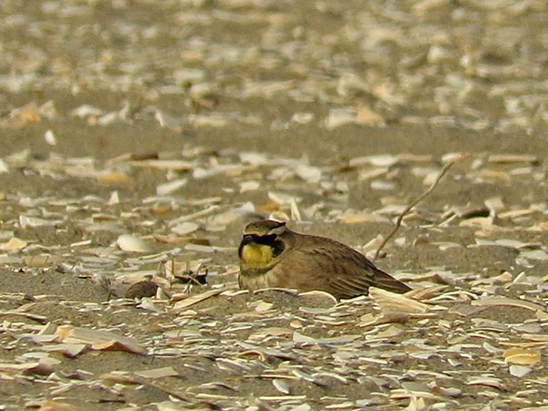 horned lark 1500 1-12-2019 BP 2.jpg