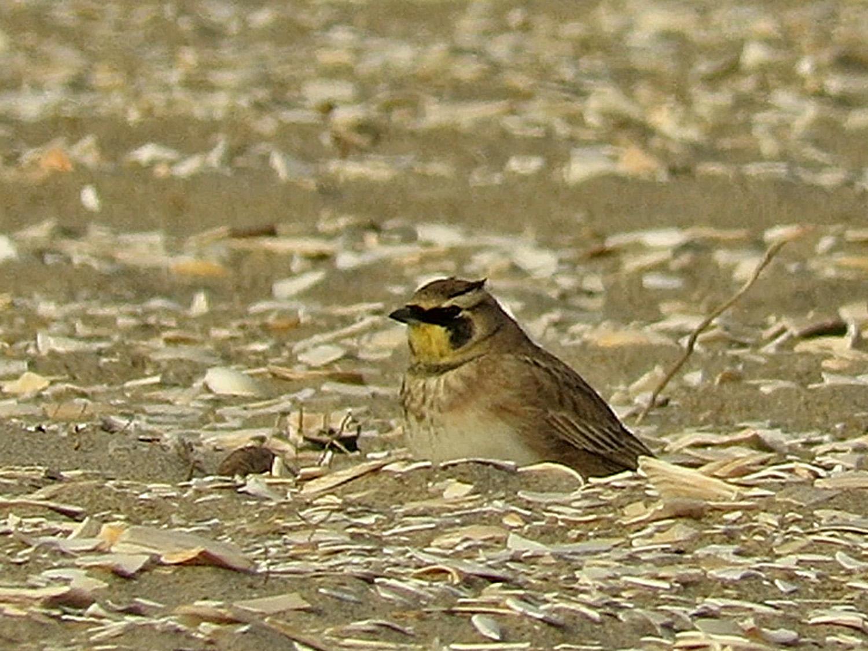 horned lark 1500 1-12-2019 PB 3.jpg