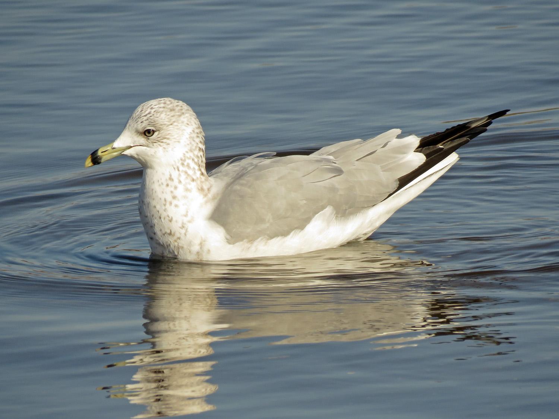 Ring-billed gull, Marine Park, Brooklyn, January 30, 2019