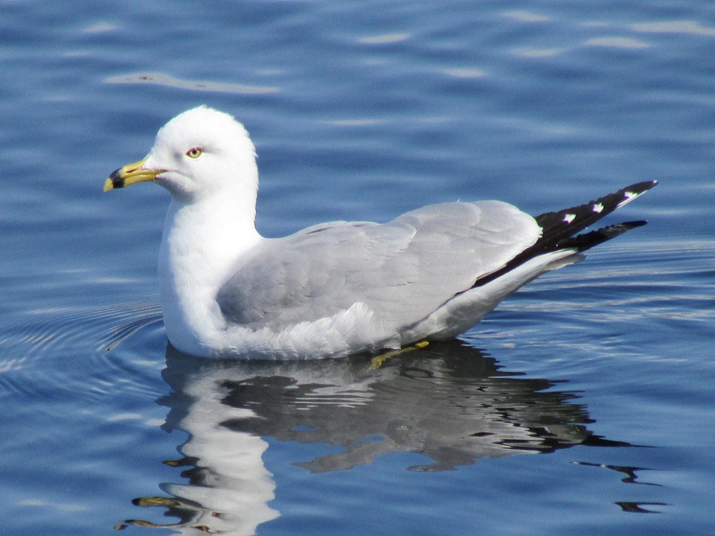 Ring-billed gull, March 14, 2014