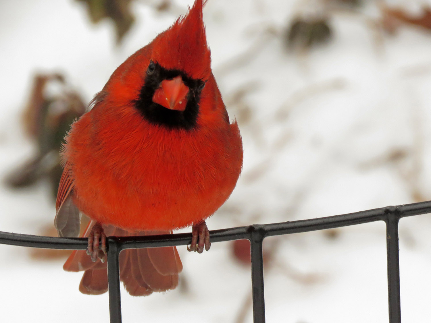 Snow Bird: Male northern cardinal waiting for sunflower seeds during a snowstorm, the Pond, Central Park, February 12, 2019