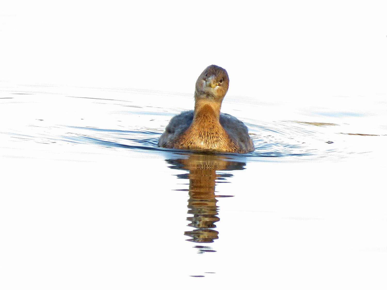 Be My Valentine! Pied-billed grebe on the Reservoir, February 14, 2019