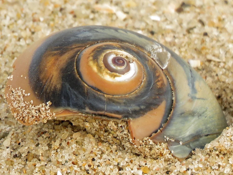 Sharkeye snail shell, Breezy Point, Queens, February 22, 2019