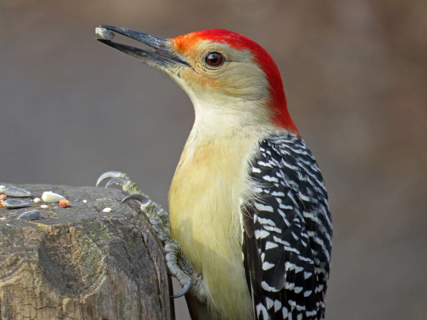 Red-bellied woodpecker at Laupot Bridge, Central Park, January 2, 2015 (also, the two photos below)