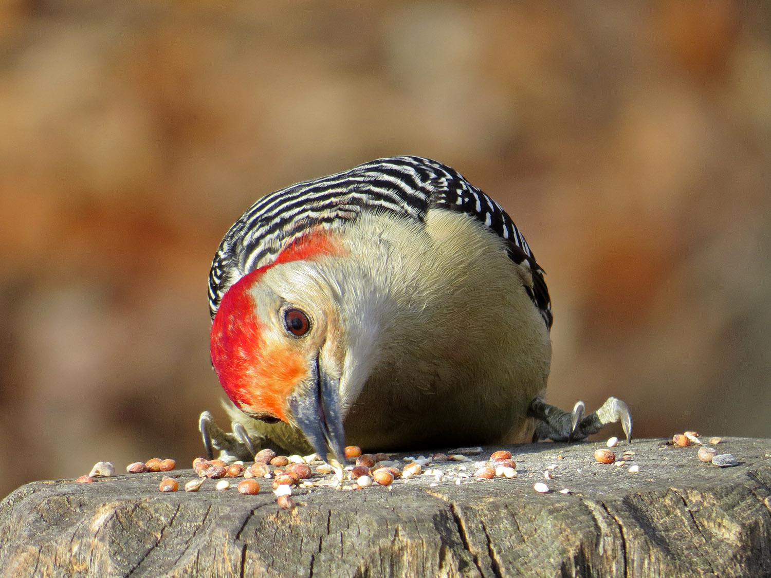 Red-bellied woodpecker at Laupot , Central Park