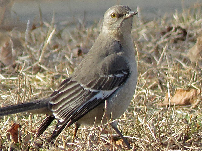 Northern mockingbird, Baisley Pond, February 15, 2019